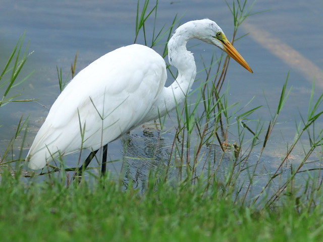 Great Egret 02-20200803