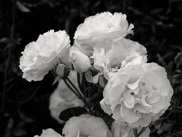 Floribunda 'iceberg' rose bush