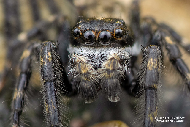 Marine jumping spider (Diplocanthopoda marina) - DSC_5848b