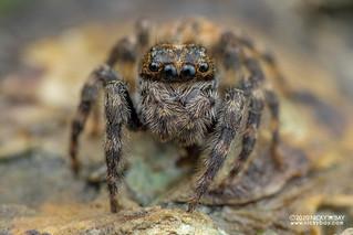 Marine jumping spider (Diplocanthopoda marina) - DSC_5793