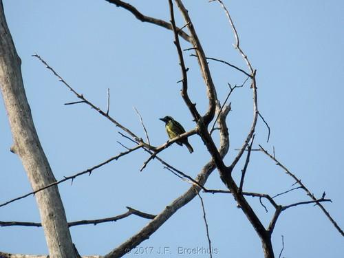 yellowspottedbarbet barbet bird grandgedehcounty grandgedeh liberia africa buccanodonduchaillui buccanodon