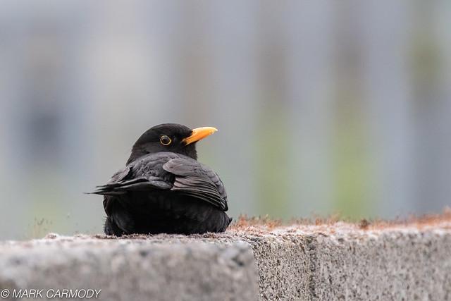 European Blackbird/Lon Dubh (Turdus merula)