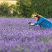 At the Lavender Farm