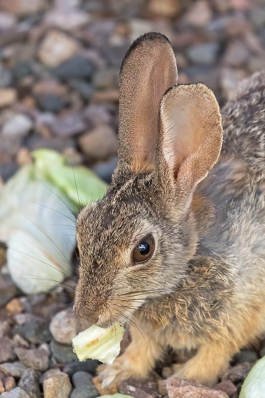 Rabbit-2-7D2-072720