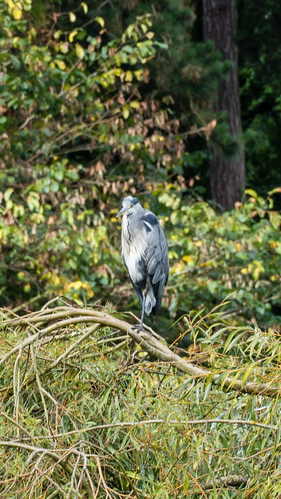 Heron, high on willow