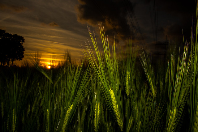 Barley in the evening