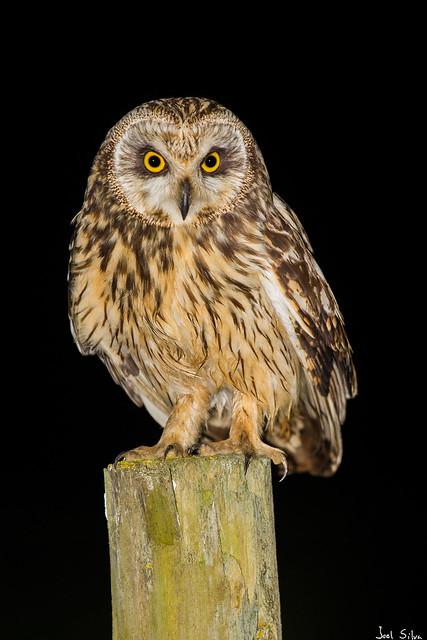 Coruja-do-nabal - short-eared owl (Asio flammeus)