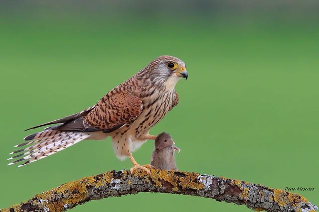 _09A3632  Cernicalo primilla  ( hembra ) .Falco naumanni
