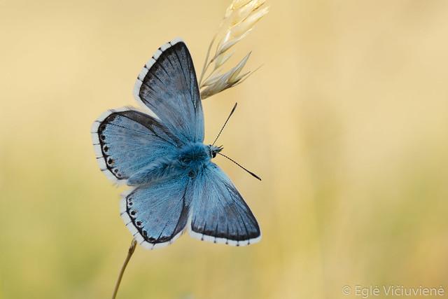 Lysandra coridon - Chalk Hill Blue / Stepinis melsvys