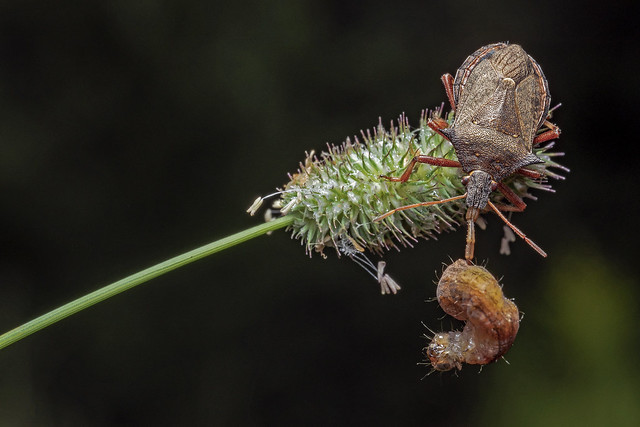 Spined Soldier Bug... and meal