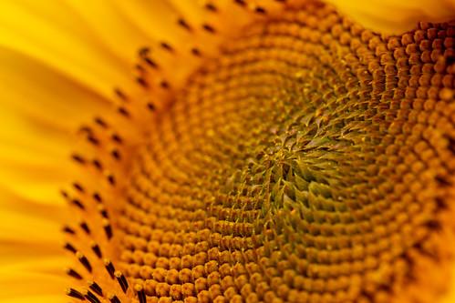 sunflower_b | Ein kleines Wunder der Natur... | Rolf ...