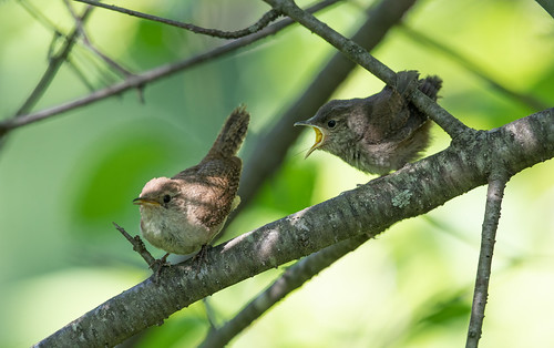 House Wren fledglings