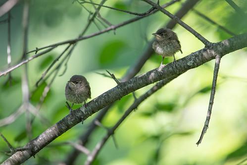 House Wren fledglings