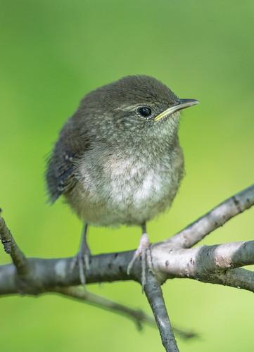 House Wren fledgling