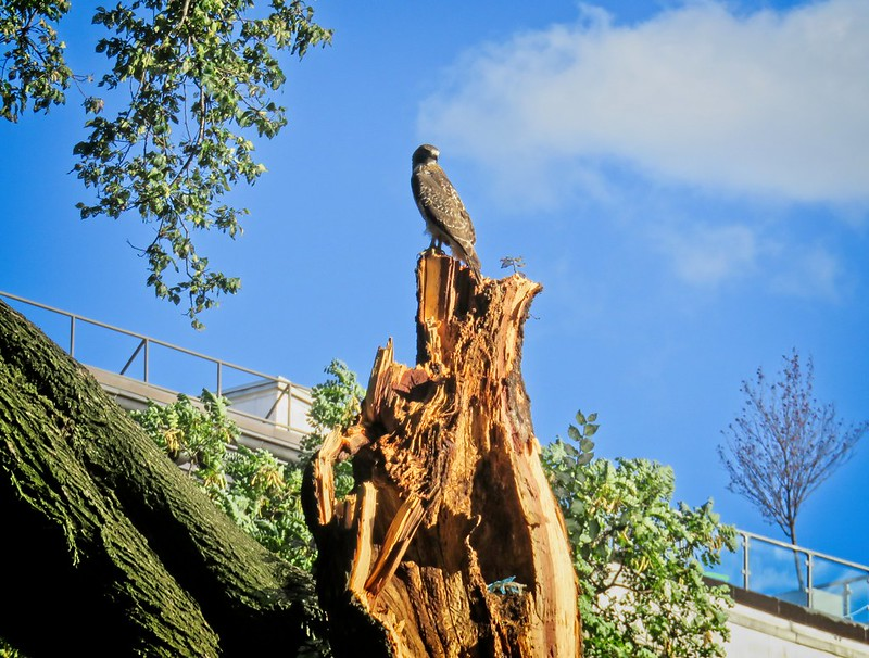 Fledgling red-tail posing on storm-damaged tree in Tompkins Square