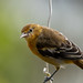 Young Oriole-54124.jpg