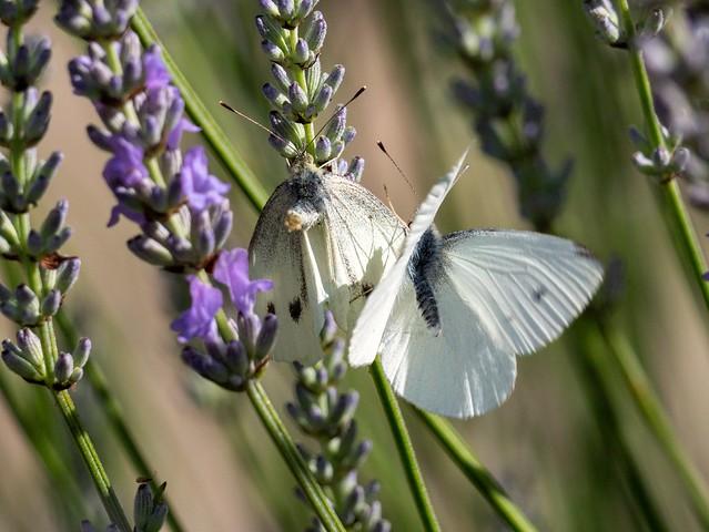 Love in the Lavender....Small Whites. E.Staffs.