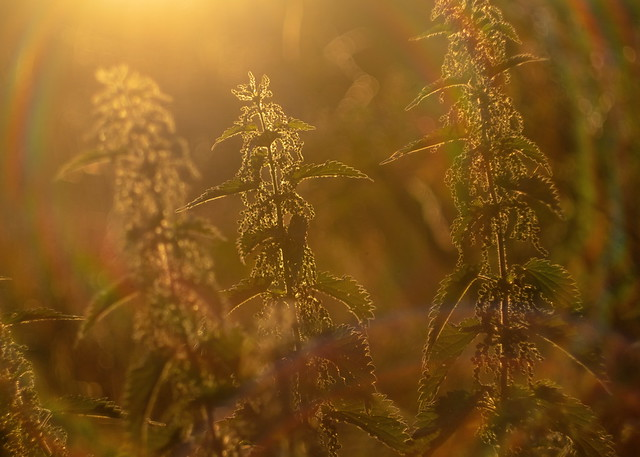 Nettles in the golden hour
