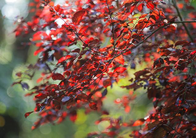 Woodland Reds