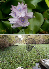 waterhyacinth