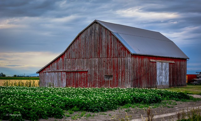 Old Red Barn / Potatoes in Blossom