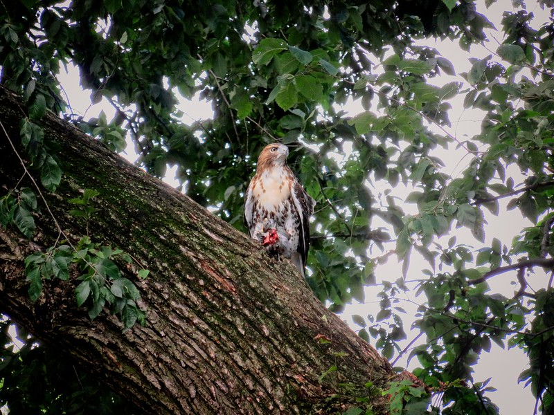 Fledgling red-tail in Tompkins Square