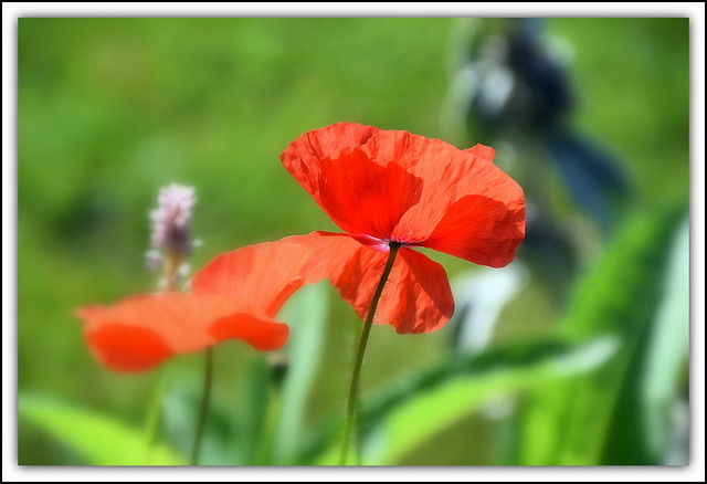 Flower Of The Day - Poppy