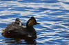 Eared Grebe and Chick - 9440b+