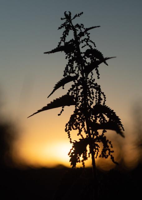 Netelsilhouet bij zonsondergang