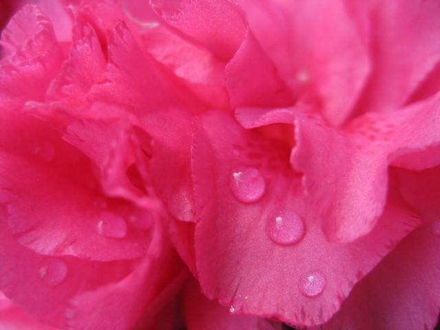 Raindrops of Magenta