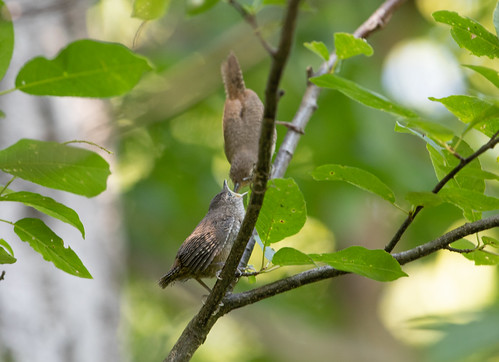 House Wren fledgling and parent