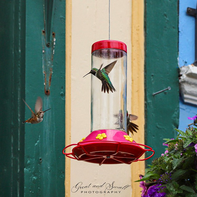 Hummingbirds in Lake City