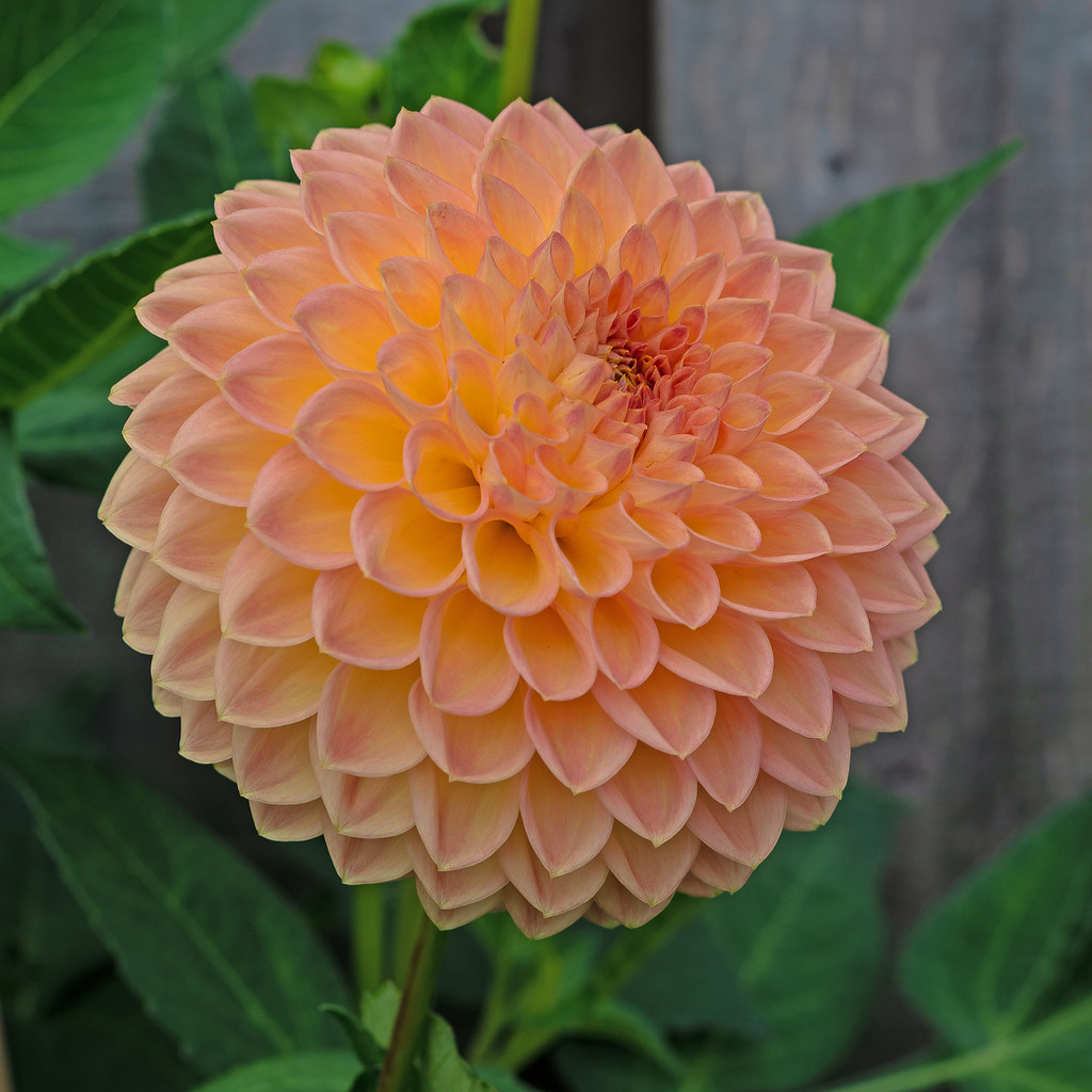Small decorative Dahlia