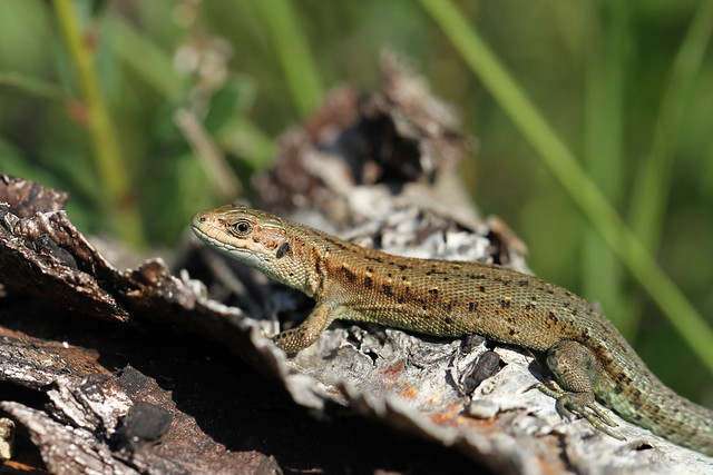 Common Lizard - Epping Forest.