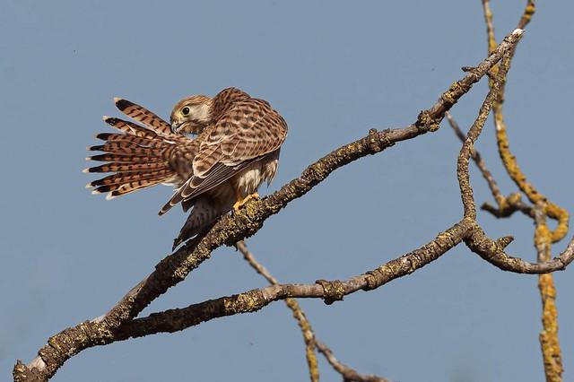Xoriguer comu - Cernicalo vulgar - Faucon crécerelle - Falco tinnunculus - Common kestrel