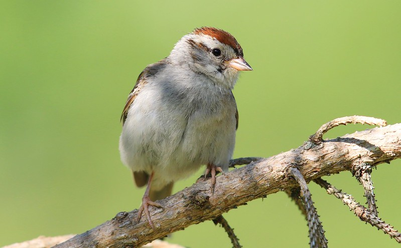 chipping sparrow at Lake Meyer Park IA 653A8480