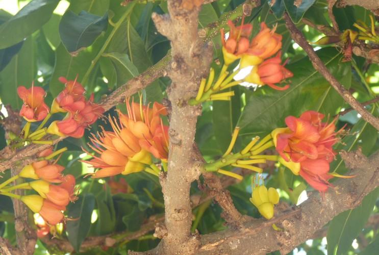 Castanospermum australe 50191101941_37ec77cba5_o