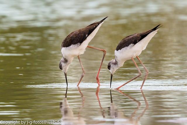 Black-winged Stilts