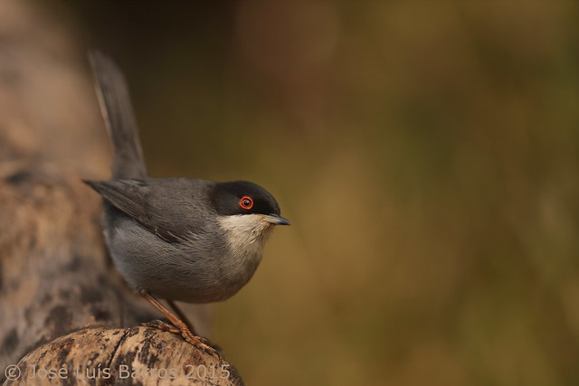 Toutinegra-dos-valados   Sylvia melanocephala   Sardinian warbler