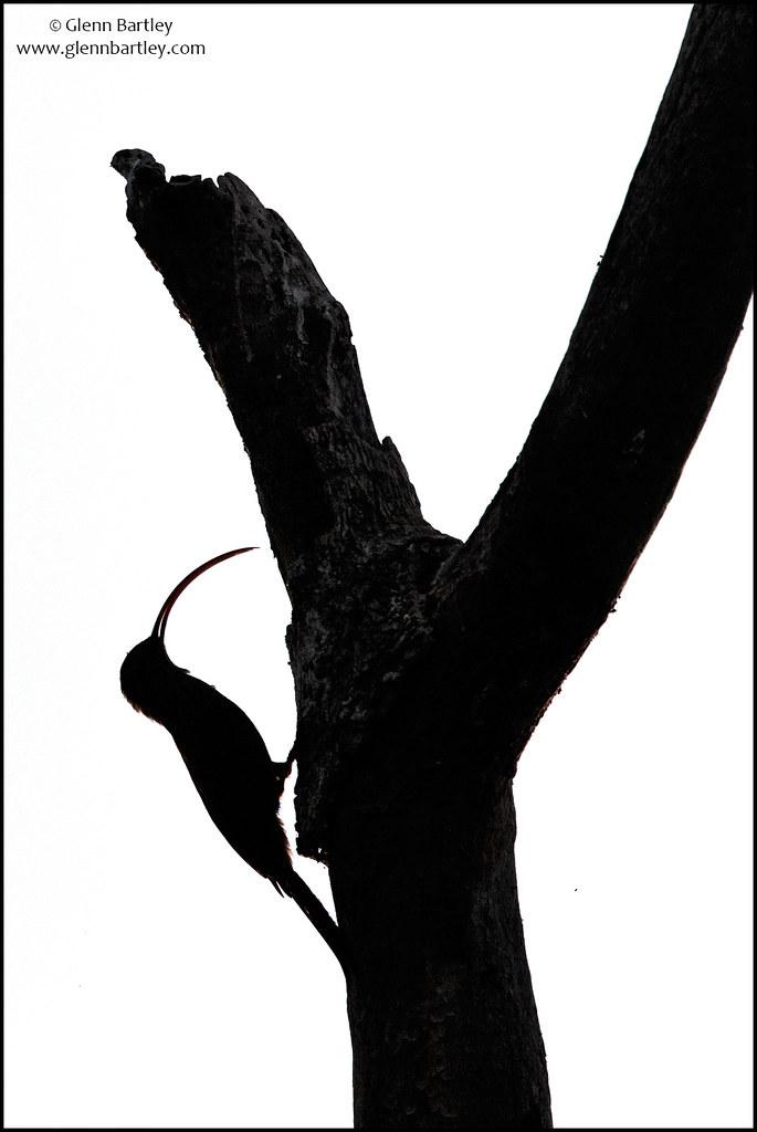 Red-billed Scythebill (Campylorhamphus trochilirostris)