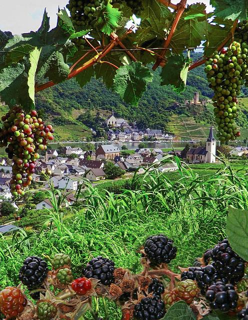 Reifende Trauben und Brombeeren