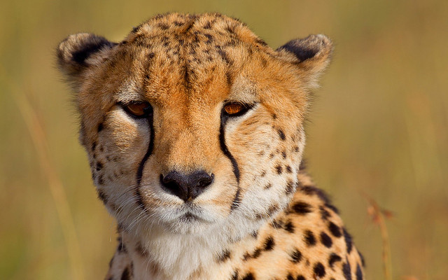 Gepard, Cheetah
