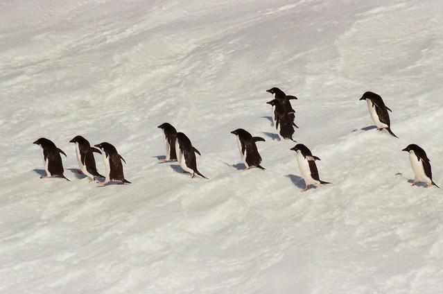 Penguins, Cosmonauts Sea, Antarctic
