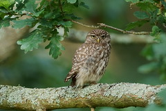 Little Owl (Adult) (HH)