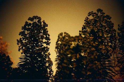 moody redscale Euphorbia