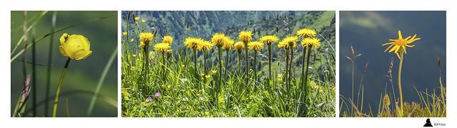 Alpenblumen in Gelb