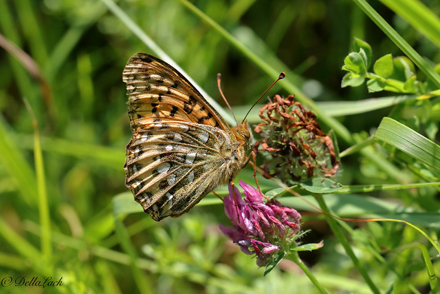 Female Dark Green Fritillary.