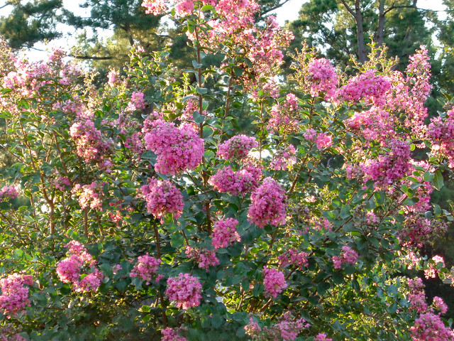 Blossoming Crape Myrtle.