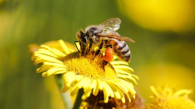 Western honey bee.  Apis mellifera Linnaeus, 1758 - Honingbij.