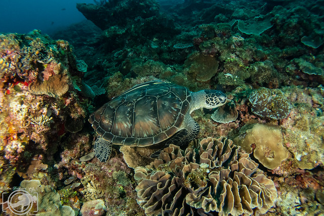 Green sea turtle munching on coral